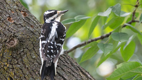 Woodpeckers at the Cross
