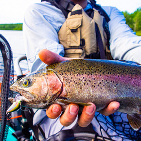 End of Day Rainbow Trout