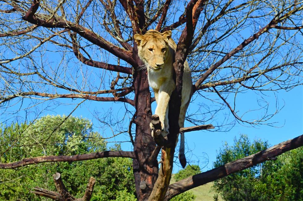 2014_GardenRoute_LionWalk10_edited.jpg
