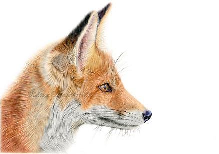 'Curios Mr Fox'