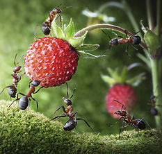 Study-Reveals-How-Ants-Carry-Big-Pieces-