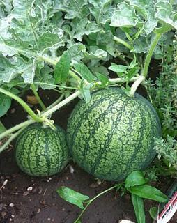 watermelon-174898__340.jpg