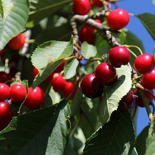 cherries-1669852__340.jpg