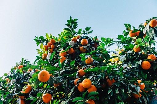 tangerines-1208301__340.jpg