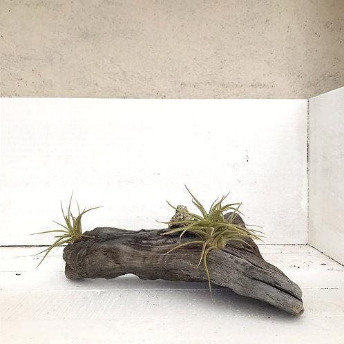 Tillandsias & pirita en tronco de madera