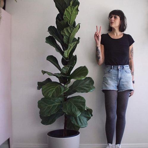 Ficus Lyrata 1.9mt