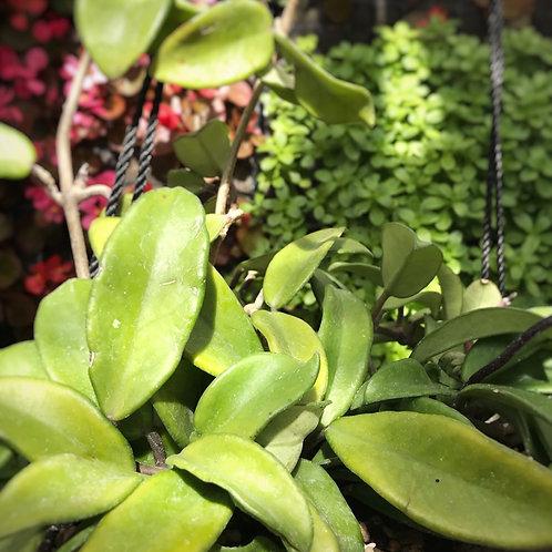Hoya carnosa colgante