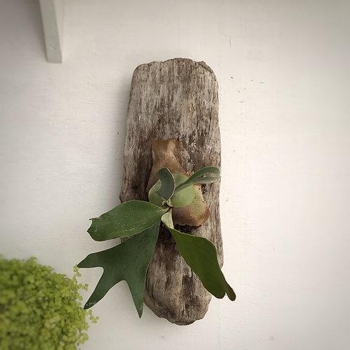 Platycerium en base de madera
