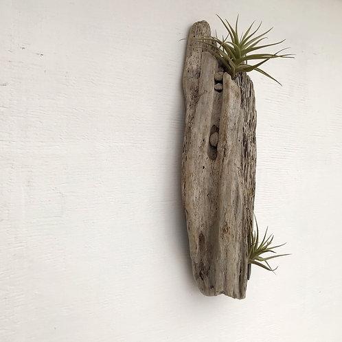 Tillandsias en tronco de madera