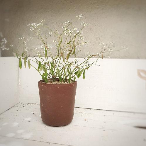 Euphorbia golondrina
