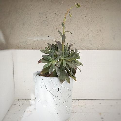 Heliotropium