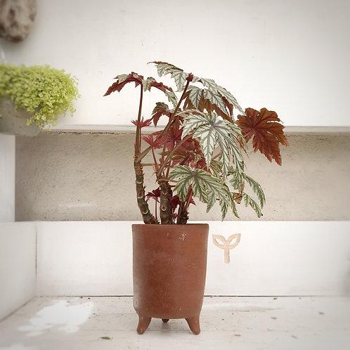 Begonia rex de hoja pintada