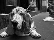 Hound Dog, Paris. November 24, 2013.jpg