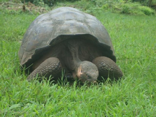 Foto de tortuga gigante en Reserva El chato, Isla Santa Cruz, Galápagos