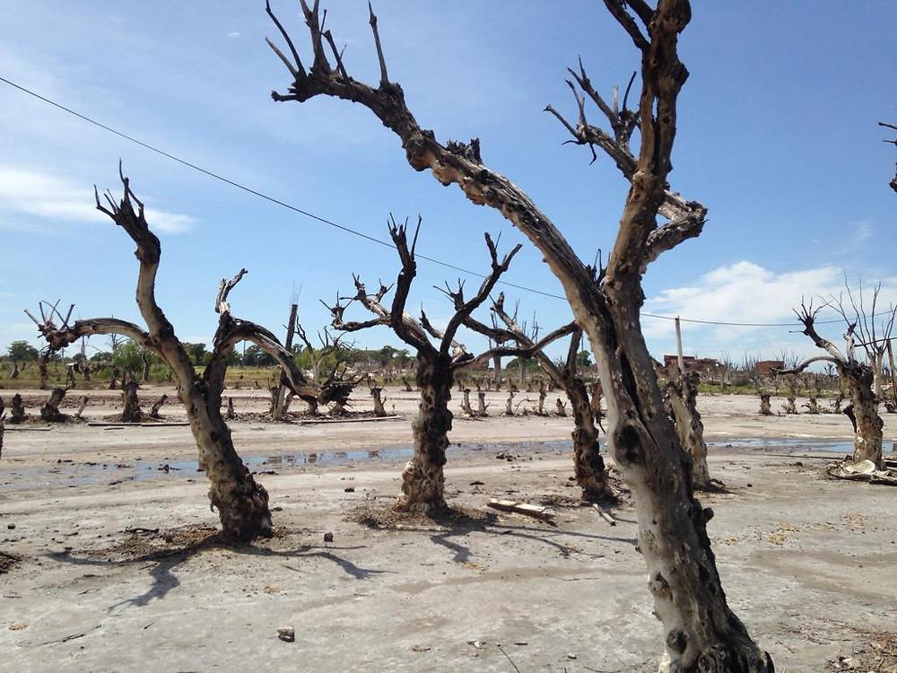 Árboles muertos en Villa Epecuén, pueblo en ruinas en Buenos Aires Argentina