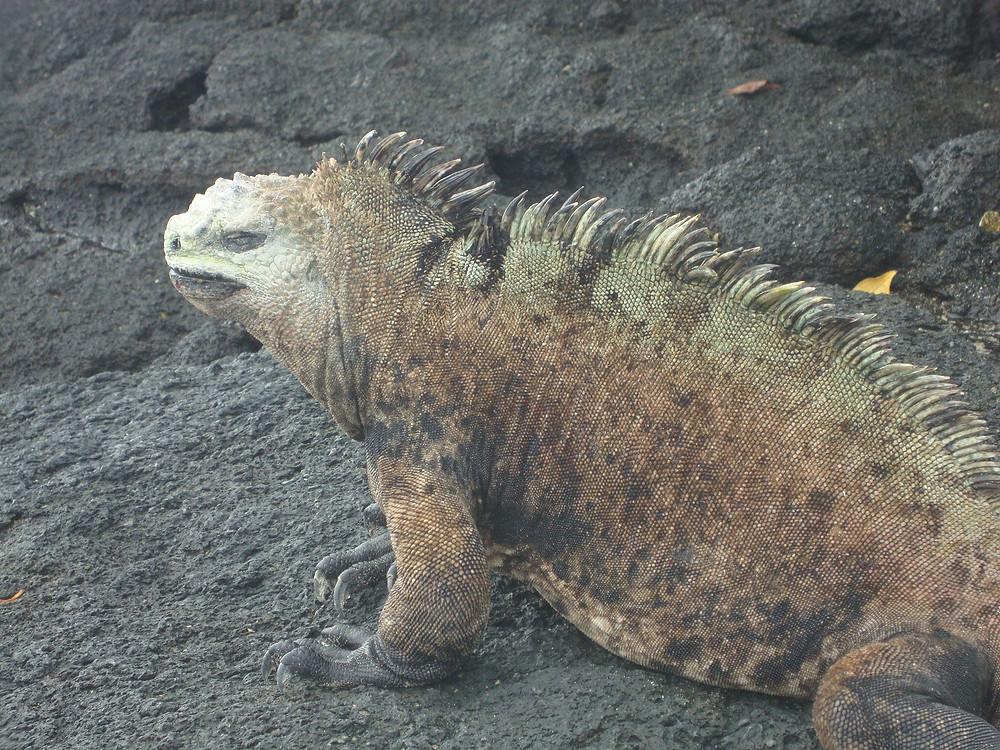 Iguana Marina macho Islas Galápagos, Ecuador, Sudamérica