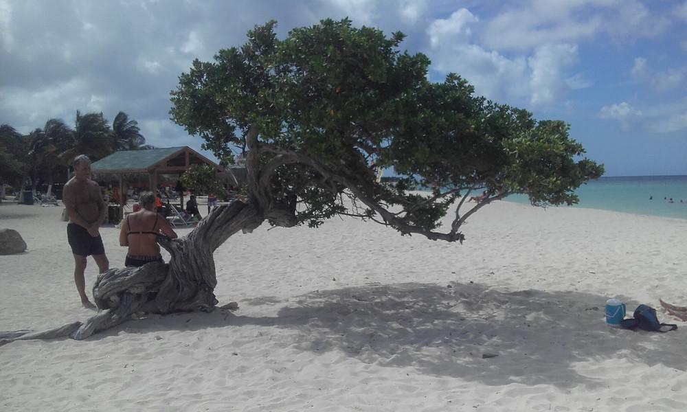 Playa con árbol divi divi, Eagle Beach, centro Aruba, la isla feliz
