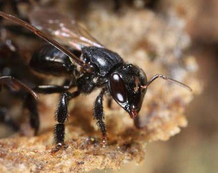 THE MELIPONA BEE (melipona beecheii)
