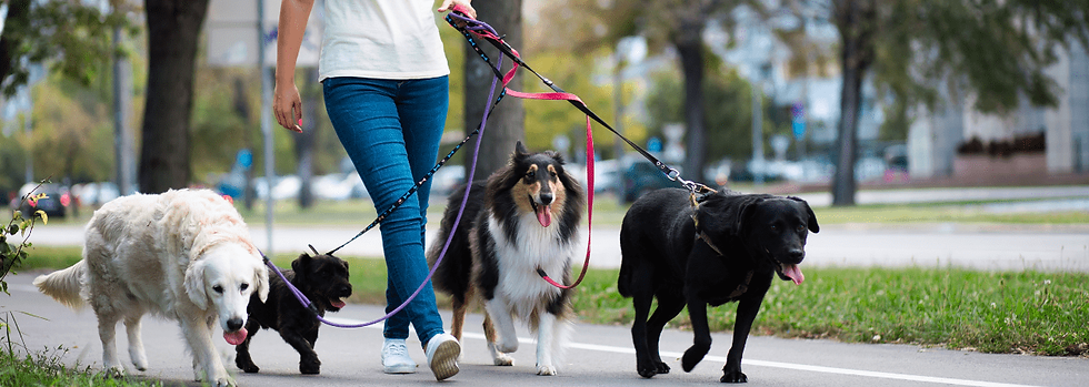 Dog walker with 4 dogs on-leash