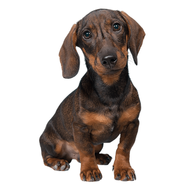 A light tan and dark brown Dachshund pup