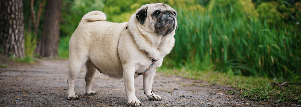 Overweight fawn pug standing on a grassy