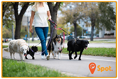 A female dog walker with 4 dogs on-leash