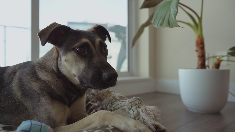Mixed breed dog sitting in apartment with toy