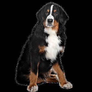An adult Bernese Mountain Dog sitting