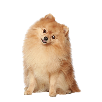 A Tan Pomeranian dog sitting with it's h