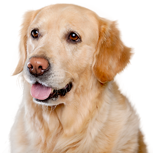 Golden Retriever Dog in Calgary.png