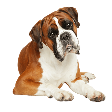 A white and tan Boxer puppy.png