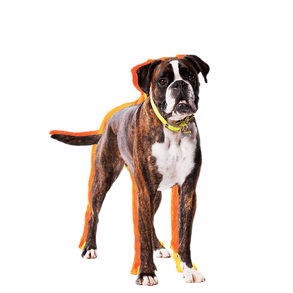 A White and brindle Boxer dog