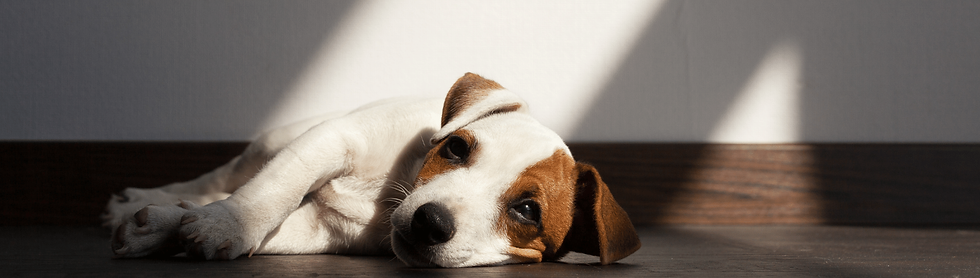 A Jack Russell Terrier laying on its sid