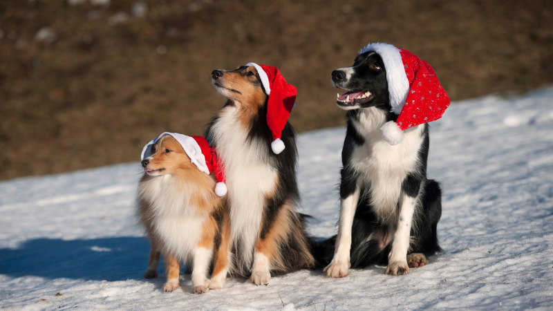 Three dogs sitting on a snowy hill wearing red santa hats