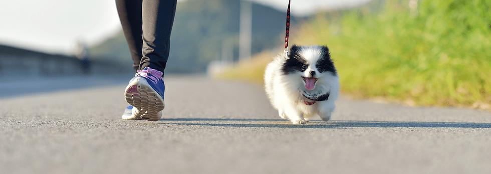 A woman walking a small pomeranian puppy
