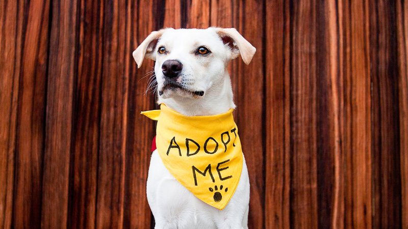 White rescue dog wearing yellow bandanna that reads adopt me