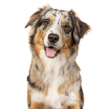A tri-colored Australian Shepherd with it's tongue out