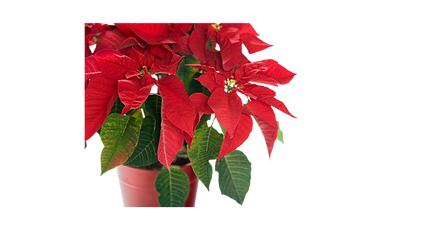 Red and green poinsetta plant in a red bowl