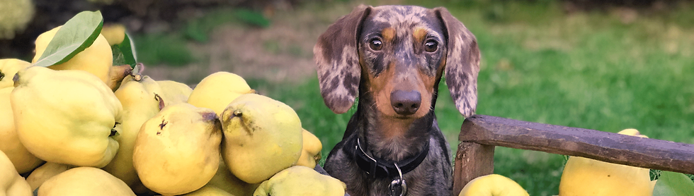 A multicolored dog sitting in an apple o