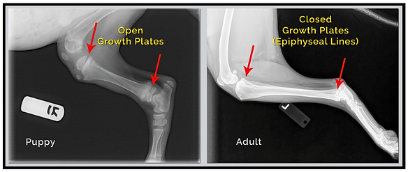 X-ray of the growth plates in two dogs.p