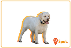A sturdy yellow labrador retriever with
