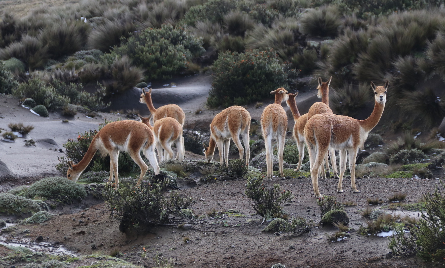 Part of a vicuña (Vicuña vicuña) bachelor herd, Chimborazo Faunal Reserve