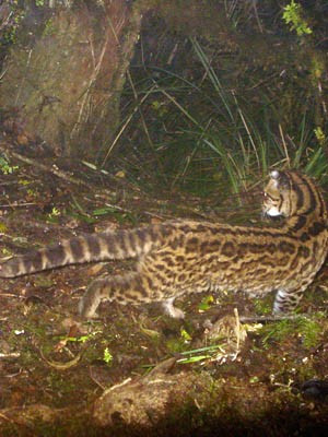 Tigrillo (Leopardus tigrinus) (prob.)