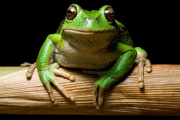 San Lucas Marsupial Frog - AH0965-002 00