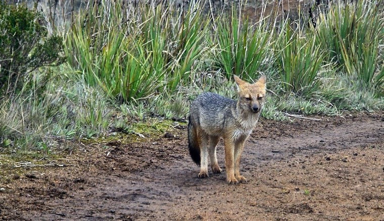 Andean fox (Lycalopex culpaeus).