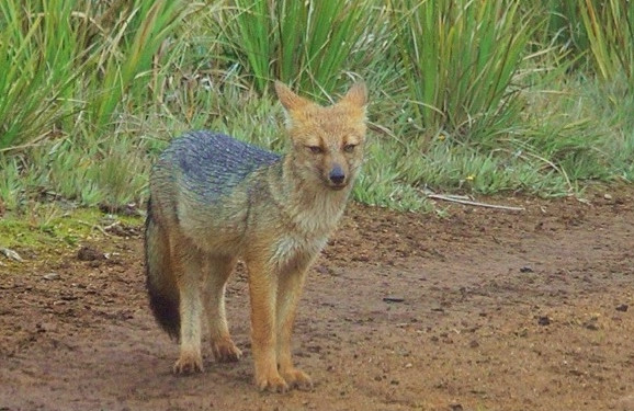 Andean fox (Lycalopex culpaeus), a predator of rabbits, wild guinea pigs, and small farm animals