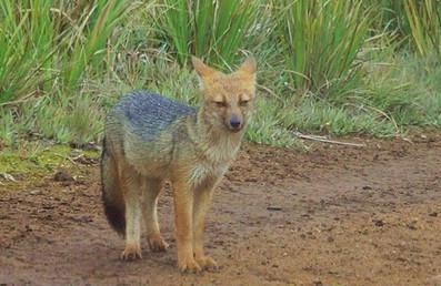 Andean fox (Lycalopex culpaeus), a predator of rabbits, wild guinea pigs, and small farm animals