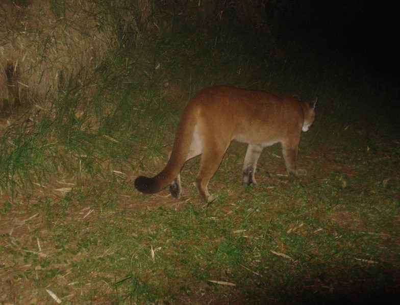 Puma; photo captured with a camera trap (credit: ESL program, Penn State University)