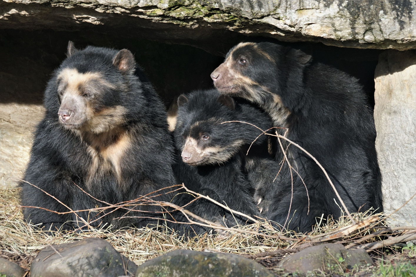 Family of Andean bears