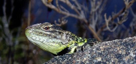 Peracca's short tail iguana (Stenocercus festae)